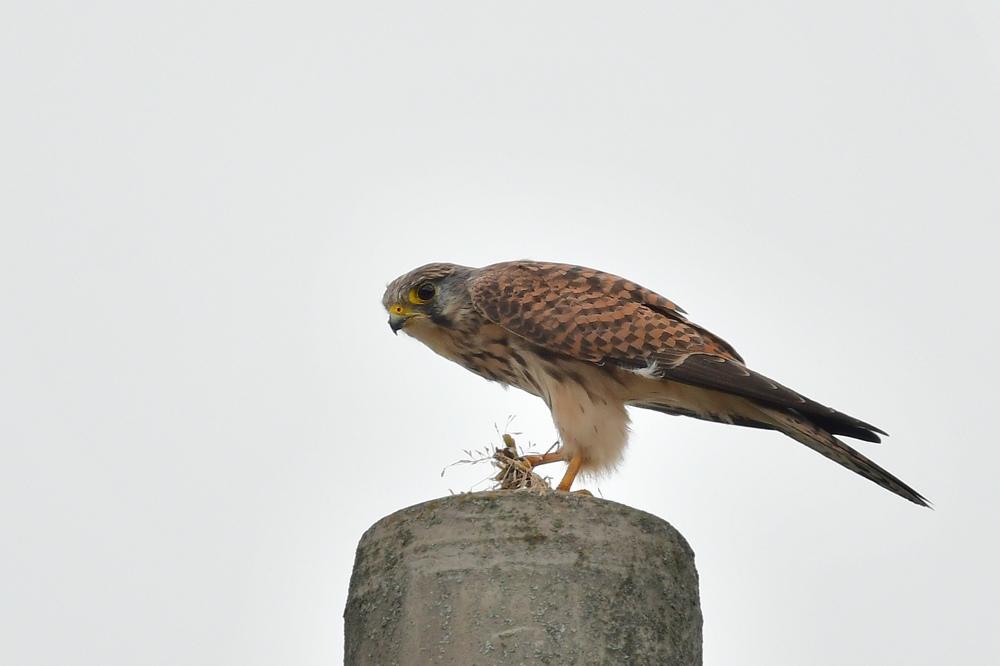 獲物を捕った鳥さん チョウゲンボウ ノビタキ_f0053272_23111789.jpg