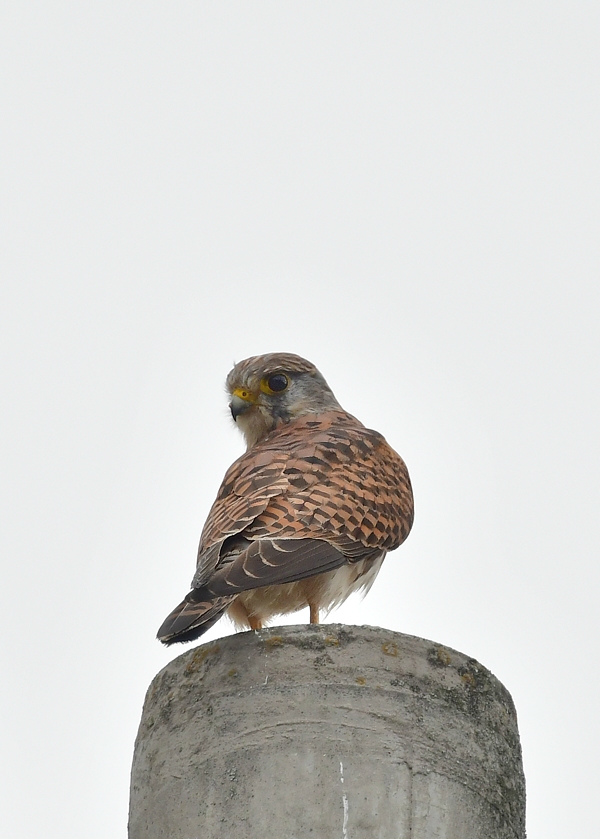 獲物を捕った鳥さん チョウゲンボウ ノビタキ_f0053272_23112325.jpg