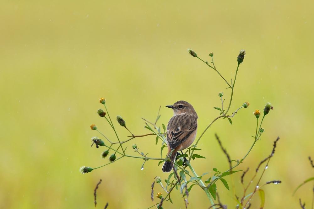 獲物を捕った鳥さん チョウゲンボウ ノビタキ_f0053272_23214351.jpg