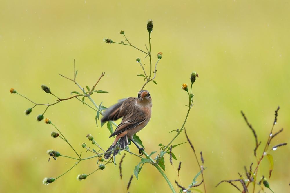 獲物を捕った鳥さん チョウゲンボウ ノビタキ_f0053272_23215328.jpg