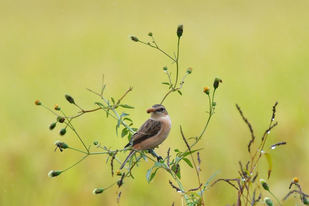 獲物を捕った鳥さん チョウゲンボウ ノビタキ_f0053272_23215889.jpg
