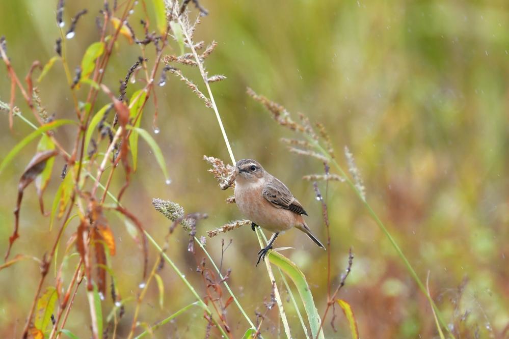 獲物を捕った鳥さん チョウゲンボウ ノビタキ_f0053272_23221433.jpg