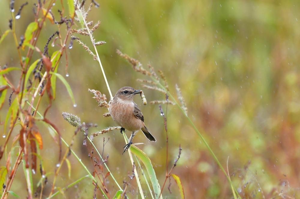 獲物を捕った鳥さん チョウゲンボウ ノビタキ_f0053272_23221714.jpg