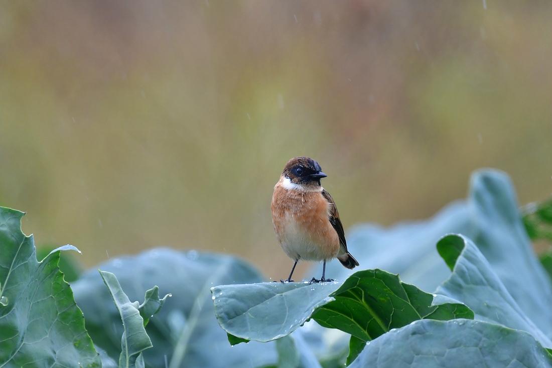 獲物を捕った鳥さん チョウゲンボウ ノビタキ_f0053272_23241403.jpg