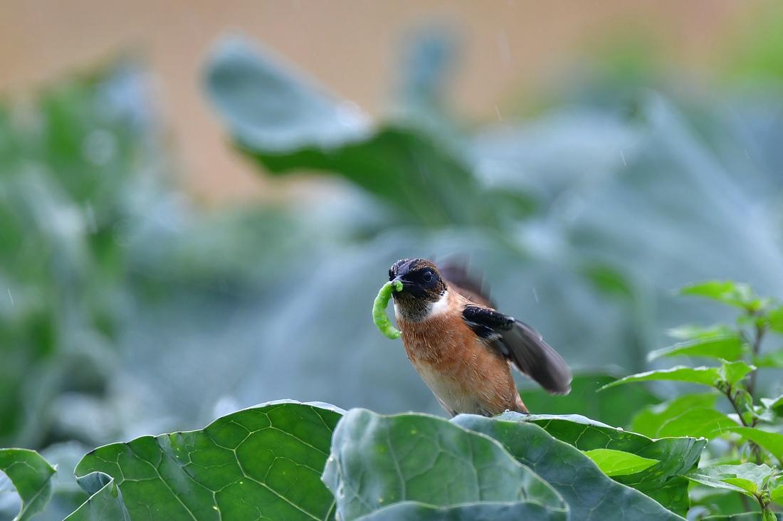 獲物を捕った鳥さん チョウゲンボウ ノビタキ_f0053272_23254652.jpg