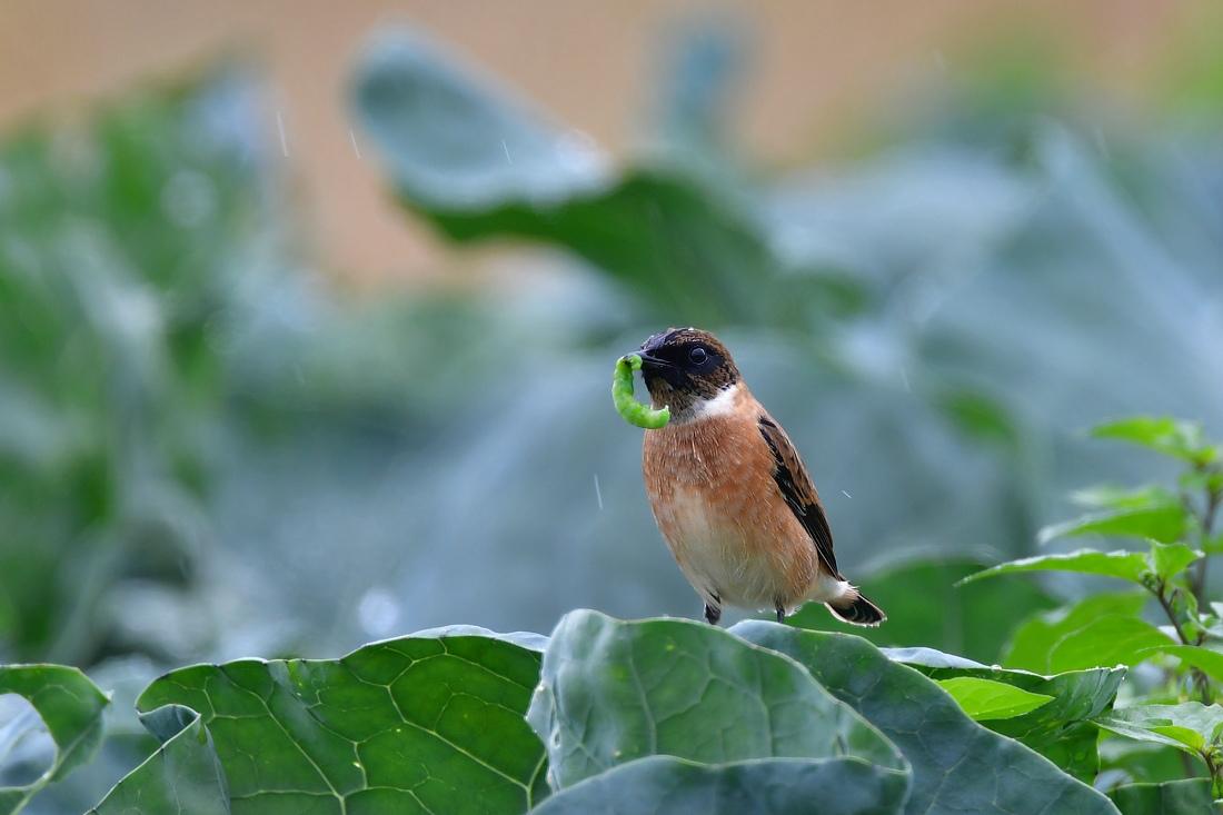 獲物を捕った鳥さん チョウゲンボウ ノビタキ_f0053272_23261228.jpg