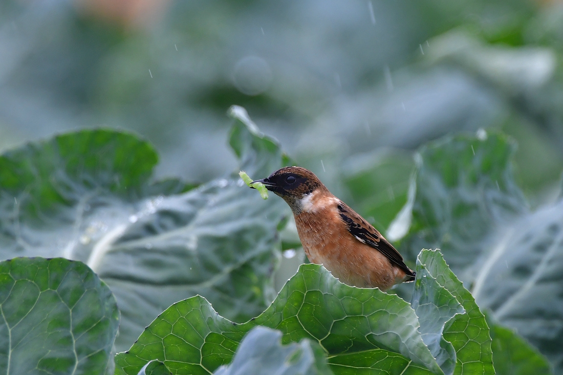 獲物を捕った鳥さん チョウゲンボウ ノビタキ_f0053272_23265290.jpg