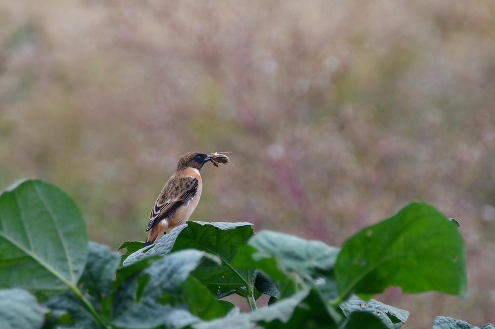 獲物を捕った鳥さん チョウゲンボウ ノビタキ_f0053272_23343218.jpg