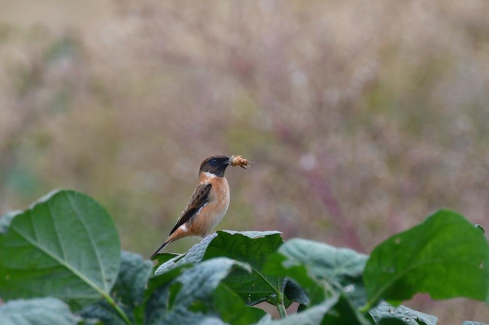 獲物を捕った鳥さん チョウゲンボウ ノビタキ_f0053272_23344997.jpg