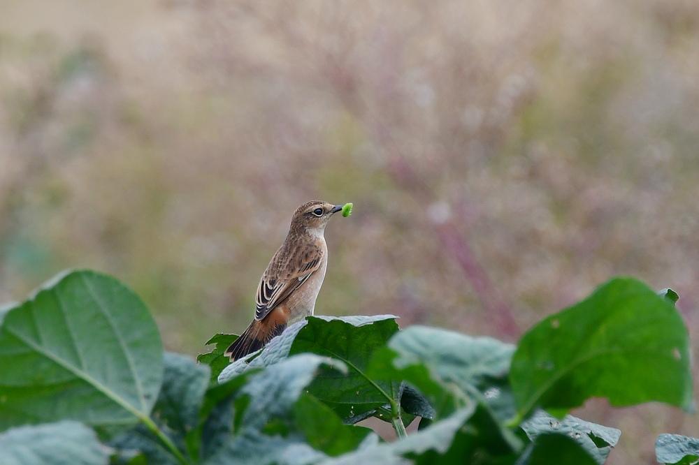 獲物を捕った鳥さん チョウゲンボウ ノビタキ_f0053272_23345471.jpg