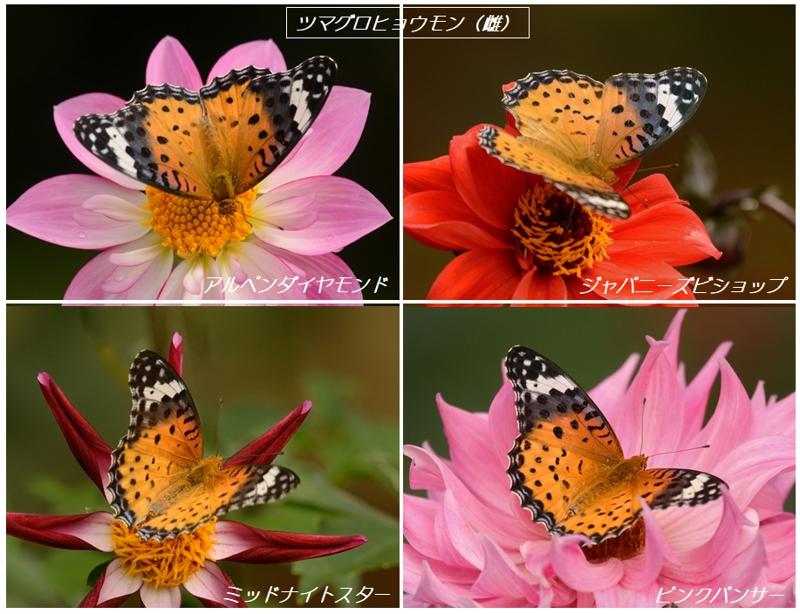 地元公園のダリアとタテハ蝶たち_a0204089_6172310.jpg
