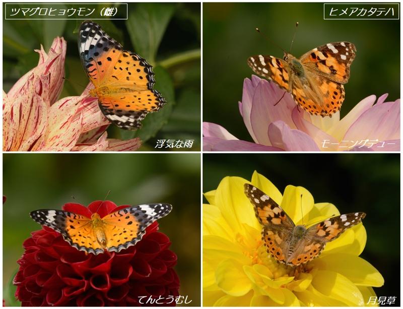 地元公園のダリアとタテハ蝶たち_a0204089_6174589.jpg