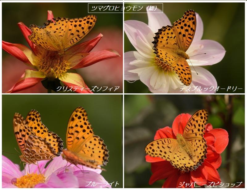 地元公園のダリアとタテハ蝶たち_a0204089_6181213.jpg