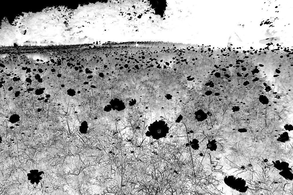 コスモスの花の写真を加工して(^^♪_e0052135_18541698.jpg
