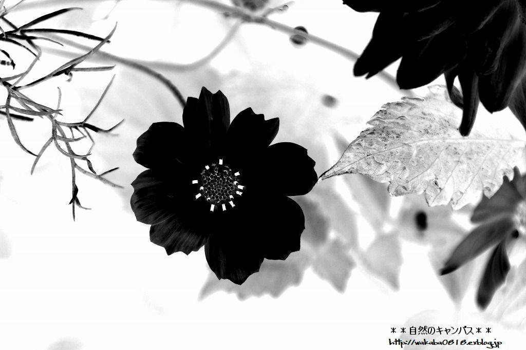 コスモスの花の写真を加工して(^^♪_e0052135_18542551.jpg