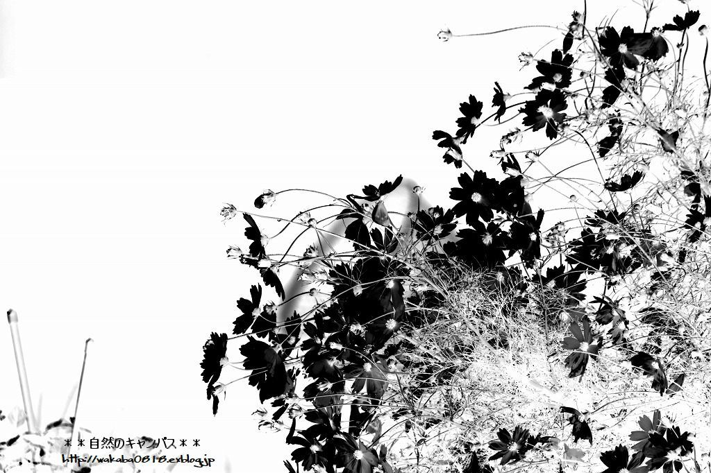 コスモスの花の写真を加工して(^^♪_e0052135_18542883.jpg