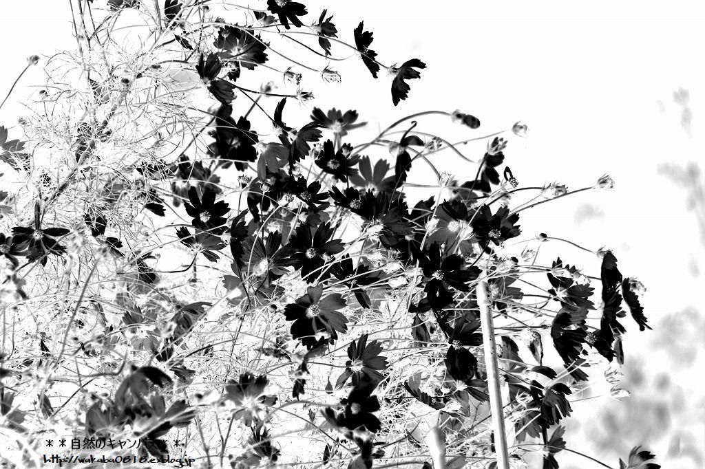 コスモスの花の写真を加工して(^^♪_e0052135_18543171.jpg
