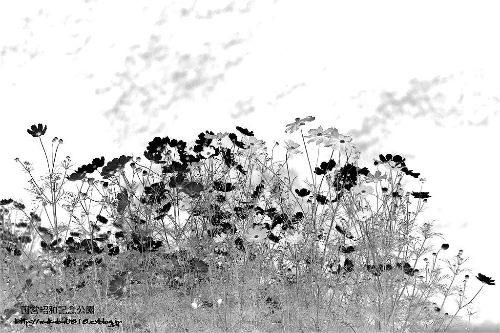 コスモスの花の写真を加工して(^^♪_e0052135_18543472.jpg