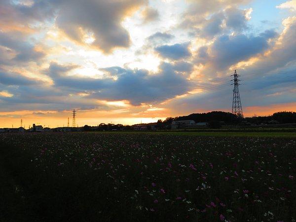 2017年10月30日 秋の贈り物 コスモス畑 ②_b0341140_1626136.jpg