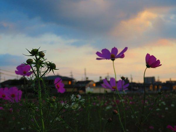 2017年10月30日 秋の贈り物 コスモス畑 ②_b0341140_16262723.jpg