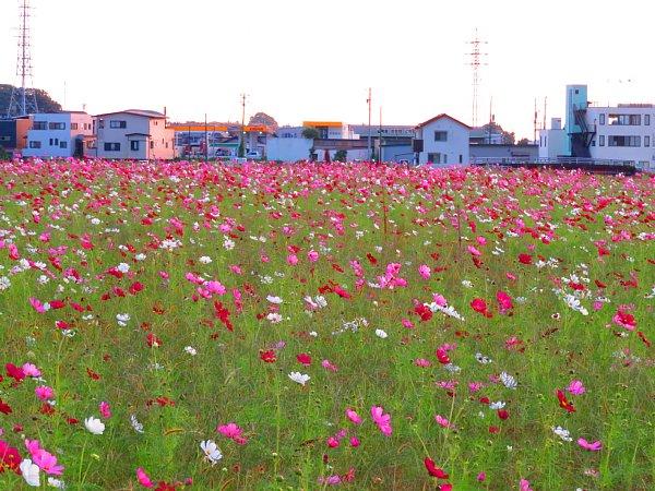 2017年10月29日 秋の贈り物 コスモス畑 ①_b0341140_5311482.jpg