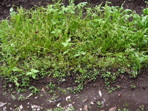 六国見山の畑の青クビダイコン今秋、初収穫10・20_c0014967_16143245.jpg