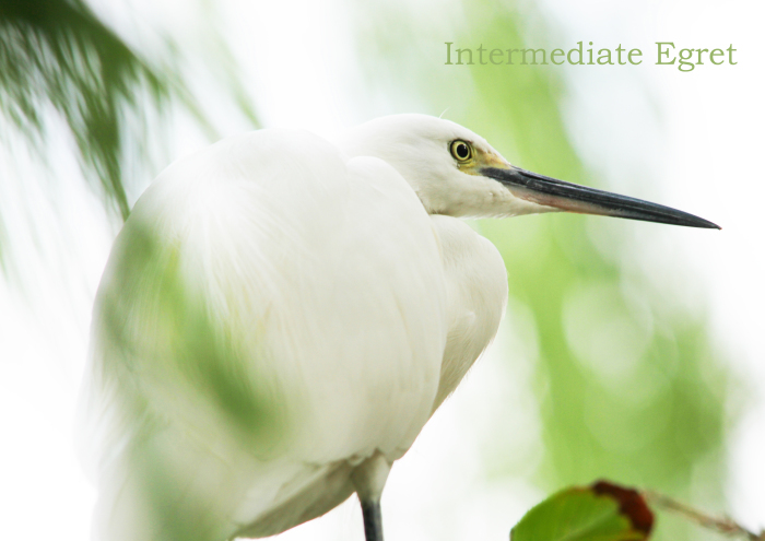 チュウサギ:Intermediate Egret_b0249597_05375044.jpg