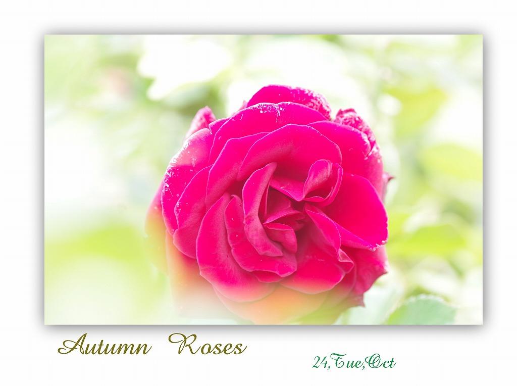 秋バラ 見ごろではなかった_d0147812_14185784.jpg