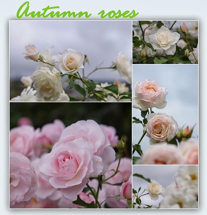 秋バラ 見ごろではなかった_d0147812_1423035.jpg