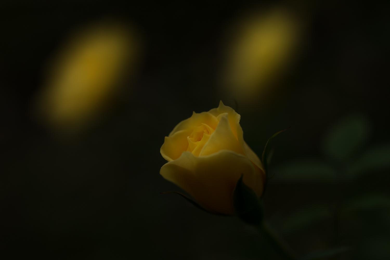 秋のバラ 終わってました_c0220824_18194180.jpg