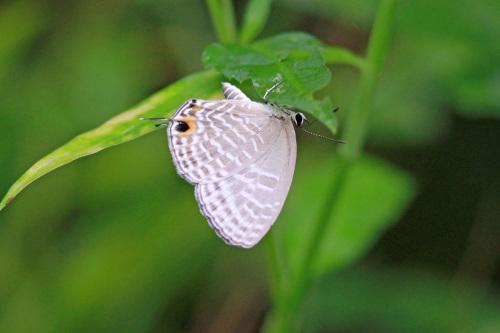 シロウラナミシジミなど  石垣島の蝶(その4)_d0353091_09075491.jpg