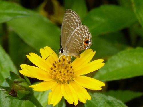 シロウラナミシジミなど  石垣島の蝶(その4)_d0353091_09130657.jpg