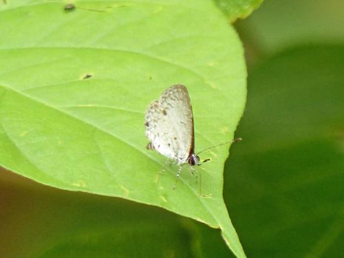 シロウラナミシジミなど  石垣島の蝶(その4)_d0353091_09385767.jpg