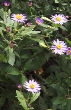 野菊の華やかさ_b0214473_1213179.jpg