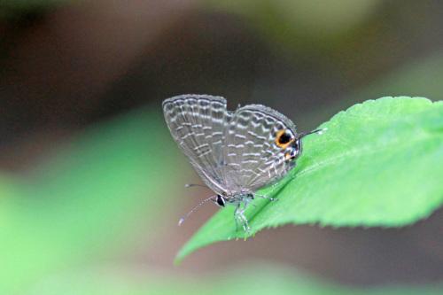 シロウラナミシジミなど  石垣島の蝶(その4)_d0353091_08533281.jpg