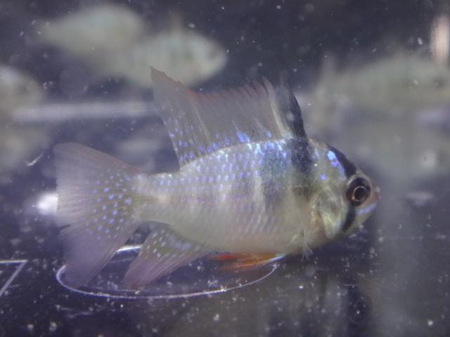 171026 熱帯魚・金魚・水草_f0189122_12574329.jpg