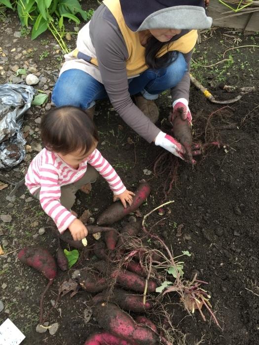 手始めに家の芋掘り_e0155231_21130192.jpeg