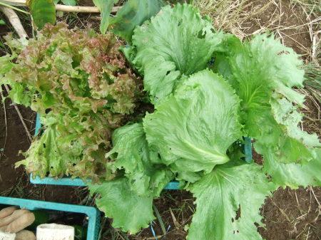 夏野菜は終了_b0137932_15084611.jpg