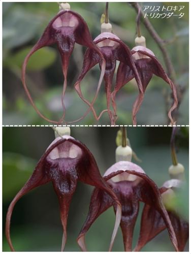 地元公園の不思議植物たち(アリストロキア属)_a0204089_2012518.jpg