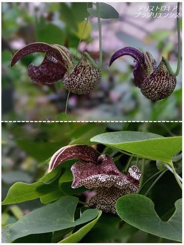 地元公園の不思議植物たち(アリストロキア属)_a0204089_2013990.jpg