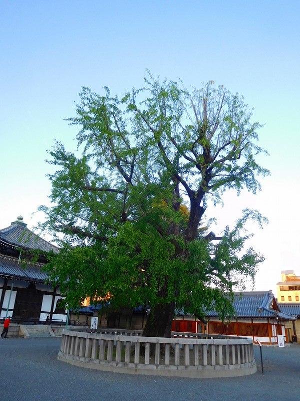 西本願寺のイチョウ20171027_e0237645_23150329.jpg