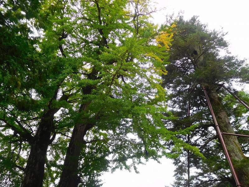 天然記念物「千年モミの木」(丹波追手神社)20171018_e0237645_23312414.jpg