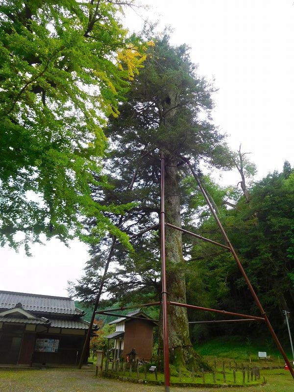 天然記念物「千年モミの木」(丹波追手神社)20171018_e0237645_23312530.jpg