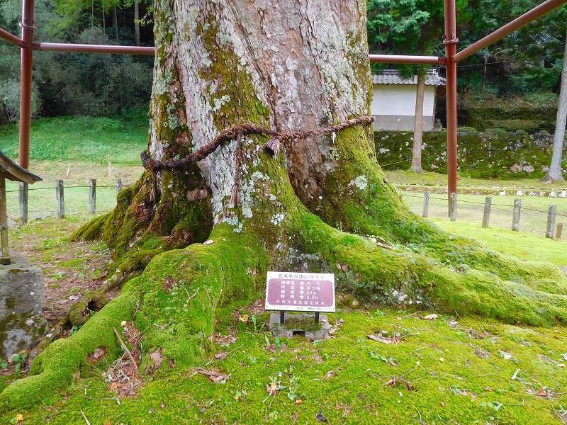 天然記念物「千年モミの木」(丹波追手神社)20171018_e0237645_23312572.jpg