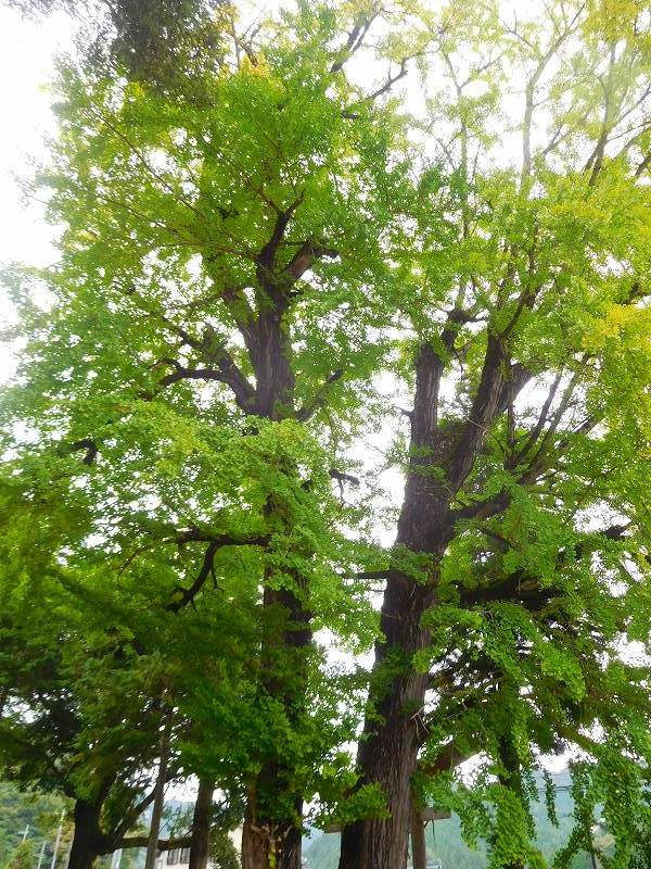 天然記念物「千年モミの木」(丹波追手神社)20171018_e0237645_23312673.jpg