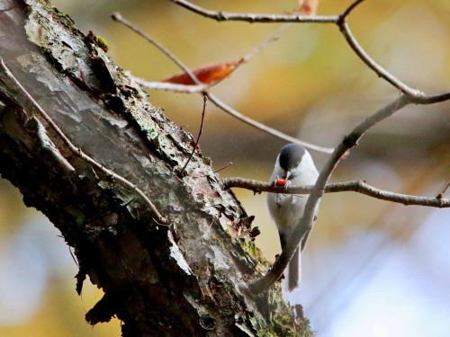 ツルマサキに集まる鳥達②   コガラ    TGS_d0346713_20003297.jpg