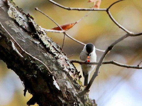 ツルマサキに集まる鳥達②   コガラ    TGS_d0346713_20003854.jpg