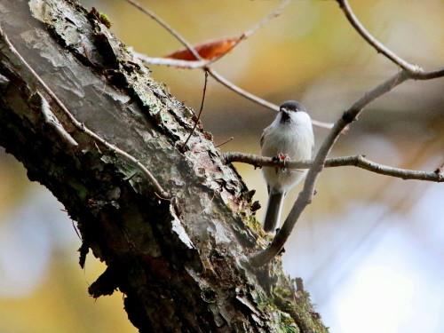 ツルマサキに集まる鳥達②   コガラ    TGS_d0346713_20004635.jpg