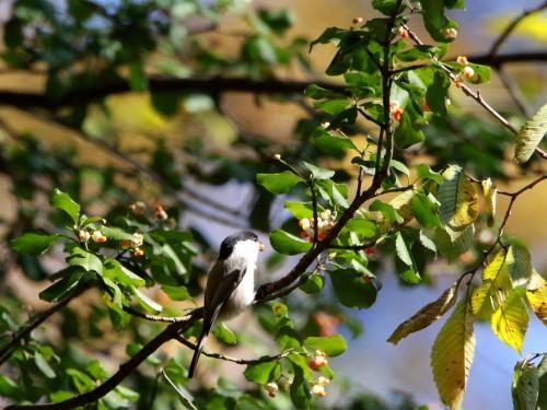 ツルマサキに集まる鳥達②   コガラ    TGS_d0346713_20005920.jpg
