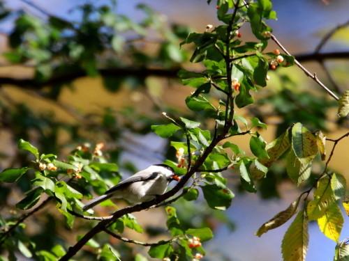 ツルマサキに集まる鳥達②   コガラ    TGS_d0346713_20010637.jpg